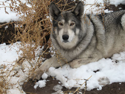 Willow, a wolf/malamute mix from Wolfwood
